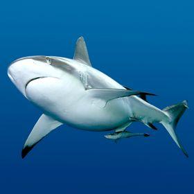 У Шарм-эль-Шейха снова появились акулы