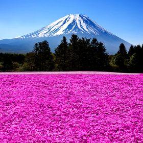 Тур в Японию цветение сакуры ( 8 дней \7 ночей )