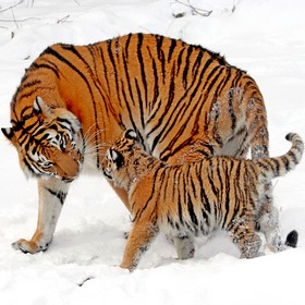 По следу Уссурийского тигра