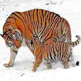 Амурского (Panthera tigris altaica) или Уссурийского тигра